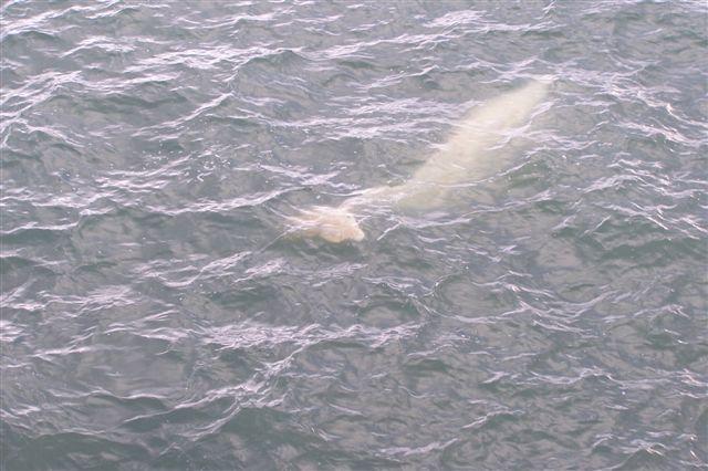 Hvidhvalen, der i en halv times tid svømmede rundt om skibet, inden den forsvandt. Vi er i Grønfjorden ud for Barentsburg, den ene af de russiske kulminebyer på Svalbard. Grønfjorden er som Adventsfjorden en sidefjord til Isfjorden.
