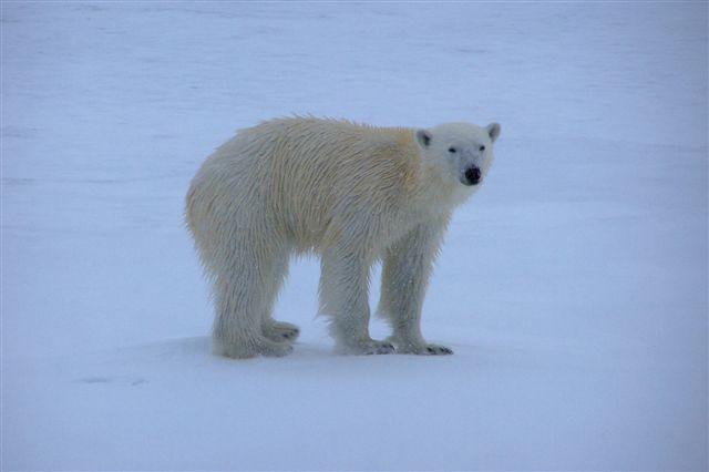 Et udvalg af Edits og mine fotos af isbjørnen. Det er, oplyste guiderne, en ung han. Den kigger meget på os, men forstår tilsyneladende ikke helt hvad den ser. Muligvis ser den ikke så godt, men lugter langt bedre. Den svømmede fra den ene isflage til den anden og gik en tid på havisen, inden den til sidst blev træt af os og gik sin vej, så vi kunne komme til ro igen. Klokken er tre om natten. Der er ikke tekster på de øvrige fotos.