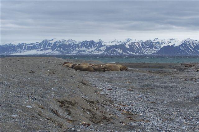 Adskillige tons hvalrosser i en dynge. Nogle ligger på ryggen med tænderne lodret op.
