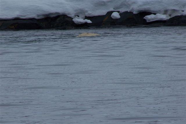 Et af medlemmerne af hvalgruppen i Samarinfjorden er oppe og få luft. Den er kun få meter fra land. Vi er her i Hornsund helt mod syd. Så længe Hornbræen eksisterer, er sundet en fjord, men smelter bræen, er det muligt, at fjorden viser sig at være et sund?