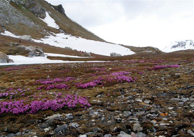 Der var ikke mange blomsterplanter på Svalbard, men der var heller ingen insekter, til at bestøve dem. Saxifraga, stenbræk var smuk og dækkede store områder, de få steder, de var. Vi er på Gnålodden i Hornsund sydligst på Spitsbergen.