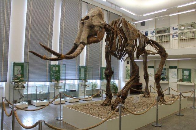 Skelettet af steppeelefanten på Sprenglermuseet i Sangerhausen. For nyligt har det været taget op eller måske rettere ned til en nyopsætning, som man mener er mere korrekt.