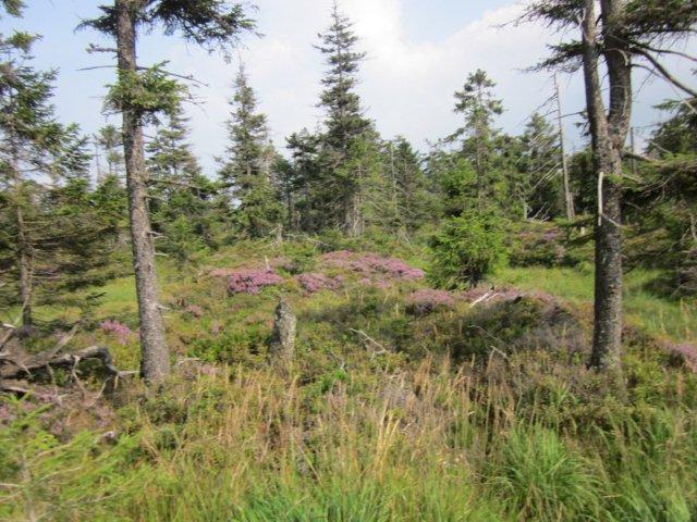 For år tilbage var der en del skovdød her, og mens træerne samler kræfter igen, boltrer lyngen sig.
