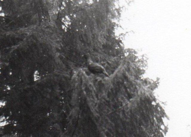 Hannen ville gøre indtryk på hunnen, der sad oppe i et træ. Den var langt mindre. I øjeblikket er tjuren udryddet i Harzen! Der arbejdes på genudsætning i nærheden af Osterode. Losser til udsætning har man nær borgen Harzburg.