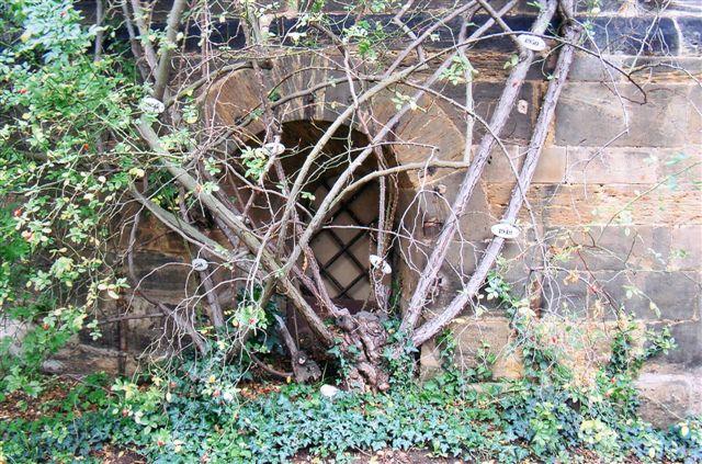 Den tusindårige rosenrod, der dog kun er 700 år gammel. Skuddene er næpe over en snes år. de blev mærket med alder i øvrigt.