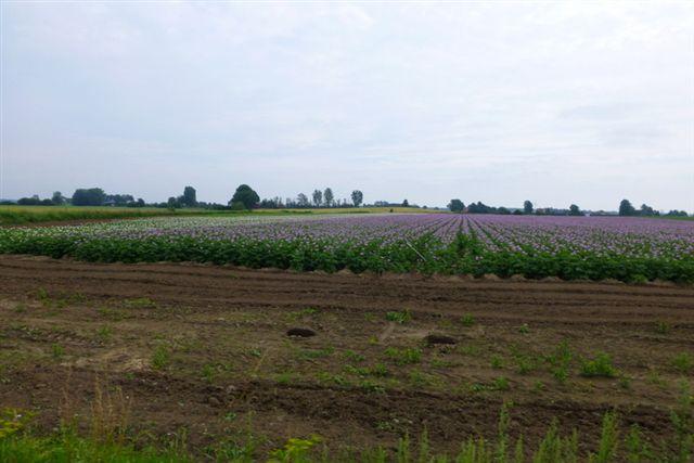 En kartoffelmark kan være smuk. Det er længe siden, jeg har det de violetblomstrende kartofler. Det var heller ikke noget, vi kørte efter, men en sidegevinst. Vi er i Østskåne 04.07.2013.