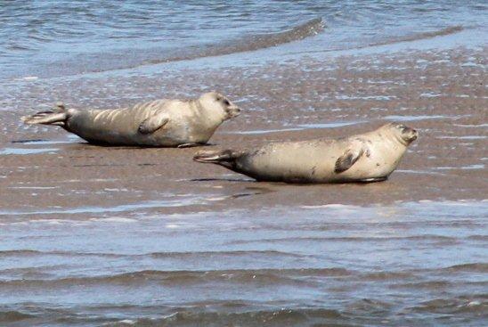 Fra færgen til Pellworm, der er inddiget og derfor ikke en Hallig, sås disse sæler.