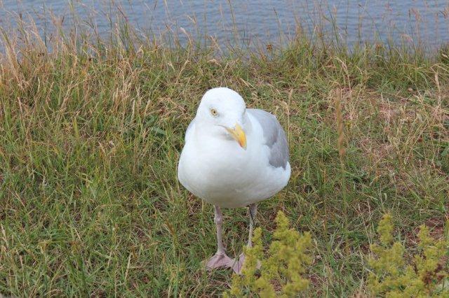Sølvmåger spiser af hånden, og de kan åbenbart tage lidt af en finger med. De mest avancerede snupper is fra folk, men kan åbenbart få lidt af fingeren med. Tyveriet foregår fra luften med høj hastighed. Dette eksemplar ser nu meget uskyldig ud. Den har ruget på fuglefjeldet på Helgoland.