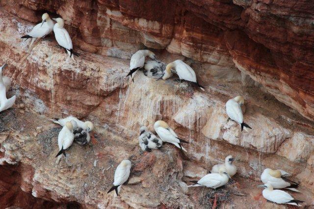 Sulerne havde endnu unger på de ganske smalle hylder på fuglefjeldet.