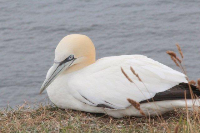 På Helgoland benytter en sulekoloni også fuglefjeldet. Deres nabokoloni ligger oppe i Midtnorge. Gult hoved og sorte vingespidser og store fødder.
