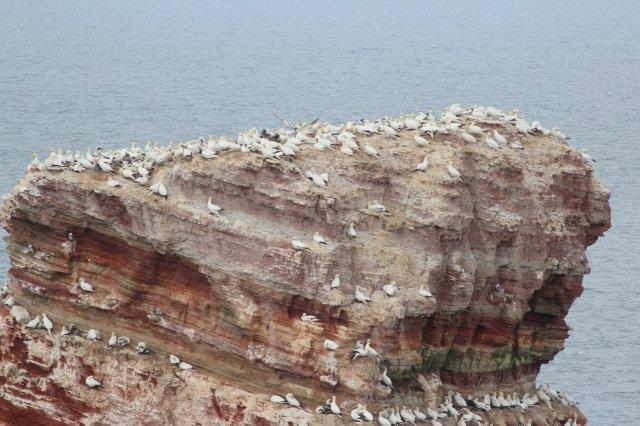 Nordvestligst på Helgoland står en fritstående klippe kaldet Lange Anna. Også her ruger sulerne tæt. Klippen er af rød sandsten, der her er løftet op af en salthorst.