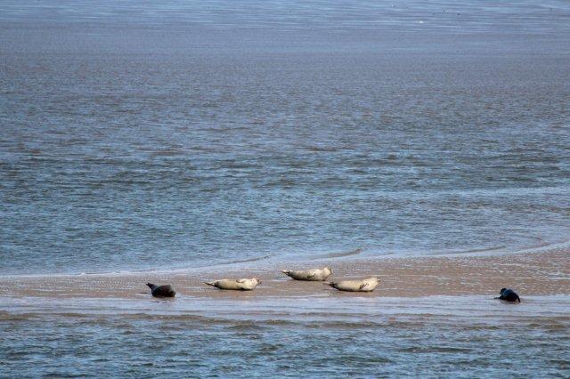 Sæler på en opskyllet sandbanke langs den dybe pril, Norderhever. Vi er midt mellem høj- og lavvande, så Vadehavets bund er endnu dækket af mere eller mindre vand. Foto fra 2013.