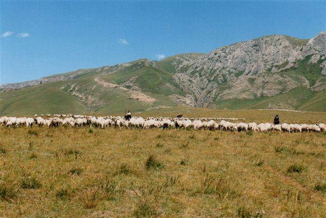 Hjord efter hjord af yakker og får kom nu ned fra bjerget. På rampen i baggrunden anes flere dyr, som selskabet imidlertid så som sten! - Sten plejer nu ikke af flytte sig.....