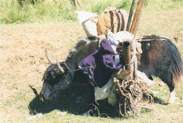 """Yak med kakkelovnsrør. Andre yakker var læsset med teltstænger, husgeråd og brænde. Yakkenerne var ikke store, men de var åbenbart stærke. Der var to arter, en """"ren"""" yak og en krydsning mellem yak og ko."""