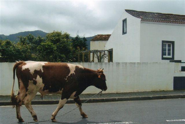 Her er en tyr, der sammen med en flok køer kom gående ned ad vejen gennem en lille by. Bonden gik forrest, og dyrene fulgte troligt efter. Tyren trådte til sin store overraskelse jævnlig i sit tøjr, og så hver gang yderst undrende ud over, at den så ikke kunne komme videre.