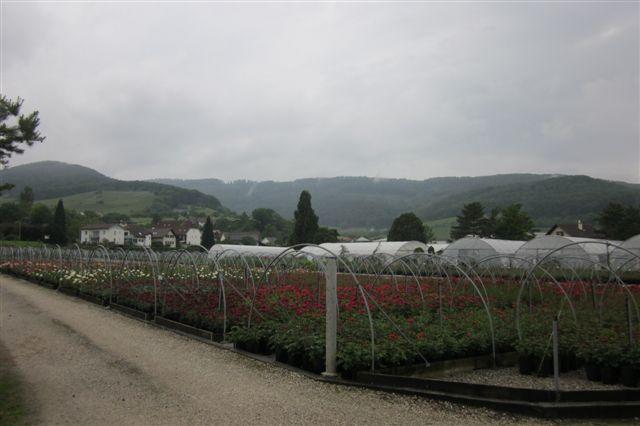 Flere roser og undtagelsesvis ingen spor lige i nærheden her. I baggrunden jurabjergkæden, mens ellers er Schweiz her temmelig fladt. Kun 25 % af Schweiz har bjerge og ligger i Alperne!