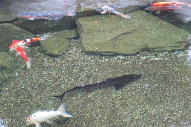 Stør mellem koihfisk til havebassiner. Dambrugserhvervet var begyndt at holde stør, som vil holder ørreder, og disse guldfiskedamseksemplarer var hanner, der ikke producerede kaviar.