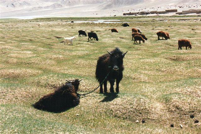 Får og et par yakkalve. der er ikke hegn, og de kan åbenbart ikke enes om at løbe væk. de havde desværre løgvæksterne på samvittigheden