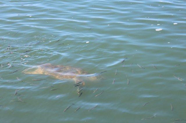 Vi blev kørt til Dalyan og sejlet et sted hen, hvor der fodredes Suppeskildpadder (Karetteskildpadder.) De var store. 75 centimeter lange og 50 kilo tunge. Her ses en af dem, som jeg kalder en turistskildpadde, men dagen før på en anden sejltur i åbent hav så jeg en vild padde, så jeg er tilfreds. Den vilde var selvfølgelig væk, inden jeg kunne fotografere. Her var i øvrigt mindst tre sultne skildpadder.