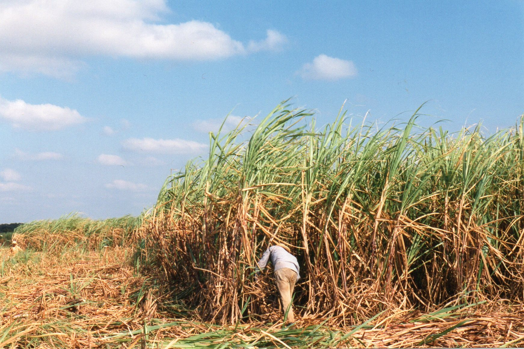 Sukkerhøst med macheteved Central 318 Victoria de Yaguajay og Central 304 Granma syd for Varadero. Granma, Bedstemor var navnet på skibet,hvormed Castro og hans folk sejlede til Cuba for at starte revolutionen.