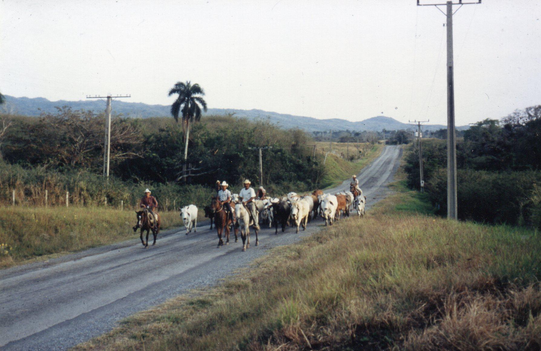 Cubanske cowboys nær den såkaldte Sukkerdal ved Trinidad. Desværre var der deltagere, der for at få bedre billeder, løb ned mellem køerne og skræmte dem ind i naturen, så folkene havde stort besvær med at indfange dem igen.