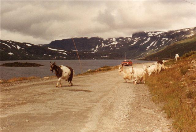 Denne vej forbi Strandevattnet er senere blevet til hovedvejen mellem Oslo og Bergen, hvis man vælger den færgefri, og den ikke er lukket på grund af sne. Desværre virkede min kofanger ikke på geder, og de ville ikke flytte sig. 1983.