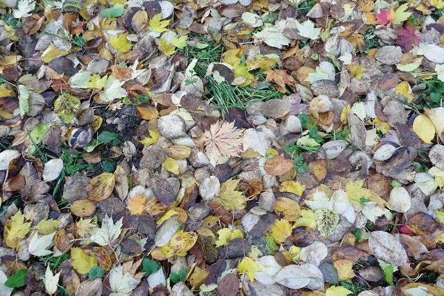Selv når bladene falder, kan de være smukke. Utrolig, at der er folk, der styrter ud om efteråret med river og bladstøvsugere. Nå, bladene fra mine vejtræer ( op til 18 sække) er store og knap så pæne. De er langt flere, end min orm kan gabe over på et helt år. Husk dog at gemme lidt blade til pindsvinene.