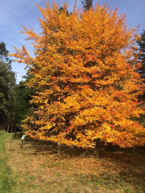 I et hjørne af Aboretet er der nordamerikanske træer. Netop Nordamerika er kend for sin Indian Summer. Træet her står ikke tilbage
