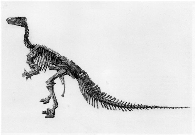 Iguanodon. 5 m høj. 10 m lang. Postkort fra før 1962.