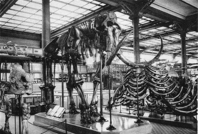 Mammut . 5.10 m lang. 3,24 m høj. Kvartær. Koninklijk Belgisch Instituut voor Natuurwetenschappen, Brüssel. Foto: Postkort fra før 1962.