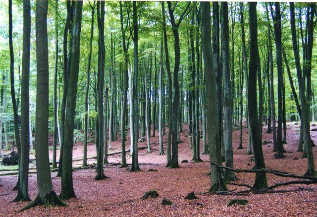 Den smukke skov ved Rügens Klint, som vi gik igennem. Man skulle ikke tro, at det var efterår og det regnede. Foto: 2005.