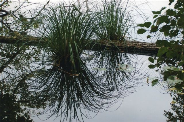 I Herthasøen stod disse to planter, som også den stedlige naturfotograf var faldet for, men billedet her er Edits, taget før vi så naturfilmen på infocentret.