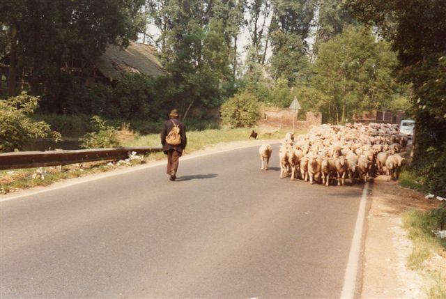 Her er hyrden på vej. Straks han ser fotografiapparatet, vender han rundt. Her er der endnu styr på optoget. Foto et eller andet sted vest for Köln 1970.