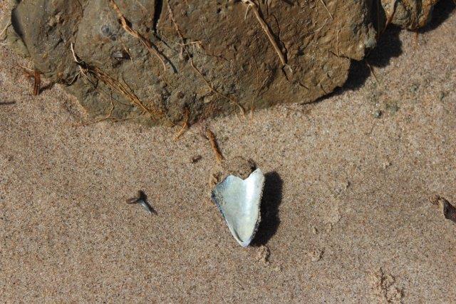 Hajtanden sammen med noget af en nutidig blåmusling og noget udskredet Lillebæltsler med rester af rødder fra tidligere bevoksning.