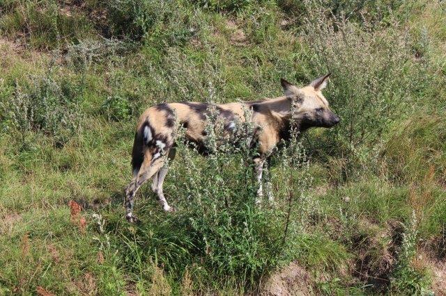 Ree Safaripark. Plettet hyæne