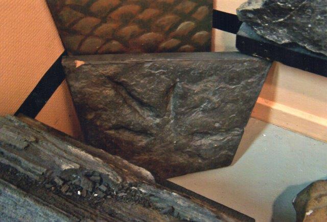 Her ses fodsporet sammen med (foran) et stykke forstenet træstamme og bagved nogle skæl elelr eventuelt muslinger (jeg har glemt det, og til højre lidt af et stykke kul med aftryk af bregneblade. Alt et par hundrede millioner gammelt. 2011.