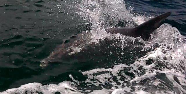 Det lykkedes mit barnebarn, Malte at filme delfinen på en senere tur. Fra filmen har jeg klippet dette foto.
